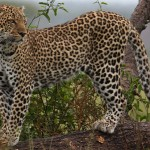 Bravo-Tours-Mara-Leopard-2