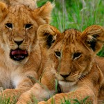 Bravo-Tours-Mara-Lion2