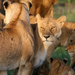 Bravo-Tours-Mara-Lion3