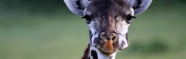 Bravo-Tours_Kenya-Giraffer